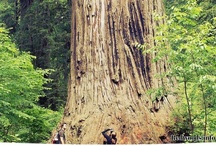 Redwood Coast / Loving and hugging the world's tallest trees of Redwood National & State Parks and the Avenue of the Giants, only in Humboldt County, CA.