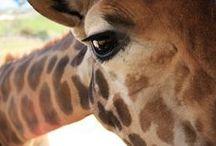 Giraffe Love / by Rebecca Sullivan