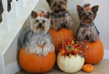 All things Yorkie / by Tina Key