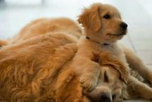 Cuteness I Can't Handle! / Sorry, but I'm cute dog obsessed and love sharing pics of cute puppies! Especially little golden retrievers :)