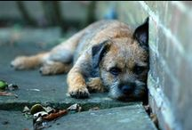 Beautiful Border Terriers