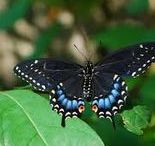 plants for Virginia butterflies / Host plants for Virginia native butterflies. Special thanks to thebutterflysite.com