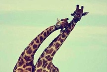 Giraffes :-) / by Jenelle Thomas