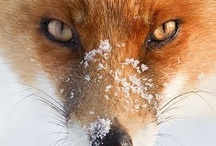 Foxy... / ... / by Sandra Walling