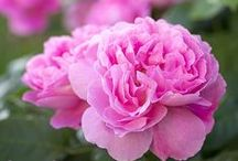 Rosenbilder zum Verlieben / Natürlich schöne Rosen auf Leinwand, Kunstdruck, Acrylglas, Kissen, Tuch oder Fototapete im Wunschformat.