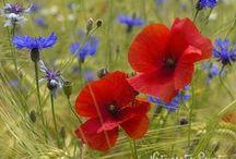 Blumenbilder Mohn | Poppys / Blüten mit Knalleffekt: Wandbilder mit Mohn / Poppys in allen Farben und vielen Variationen.
