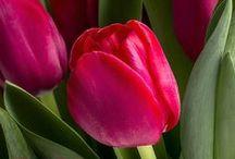 Tulpenbilder | Tulips | Tulpen / Leinwanddrucke und Kunstdrucke mit Tulpen