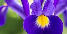 Blau, wie romatisch / Die blaue Blume der Romantik wächst in vielen Variationen im Garten von Nature to Print.  Zu haben als Kunstdruck, auf Acrylglas, Fototapete, Leinwand oder wunderschönes Blumenkissen.