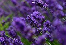 Lavender Love / by Cat Man Du