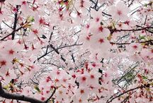 cherry blossoms  / my favorite tree, ever