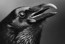 Photography - raven