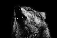 Photography - wolf