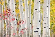 Birch and Aspen / by AW