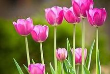 Tulips / by AW