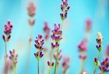 Lavender / by AW