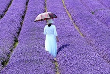 lavender purple / 時をかける… そして転んだ (*^^)v / by Hiroyasu Takano