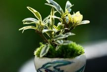 Bonsai & Cloud Pruning / by Alison Dowe