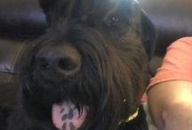 Black Russian Terrier Selfies