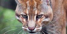 Wild Cats <3