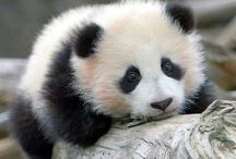 ♥ Pandas Love ♥