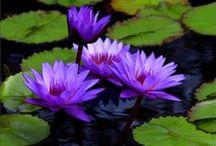 Lilies & Lotus