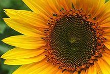 Sunflowers make me smile / by Tina Ledbetter