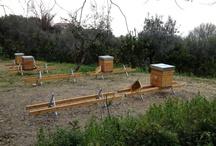 Apicoltura / www.apicolturaiezzi.it Api regine, pappa reale, miele e polline d'api