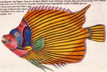 Louis Renard / Fishes, Crayfishes and Crabs, of Diverse Colors and Extraordinary Form, That Are Found around the Islands of the Moluccas and on the Coasts of the Southern Lands, c. 1719 / by Dj Doss