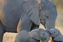 Elephant Conservation / Elephant conservation and media to save this iconic species