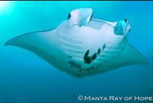 Manta Ray Conservation / Working to protect our oceans' manta rays