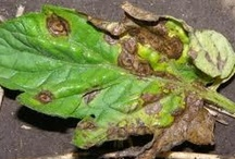Managing Garden Pests and Disease / The beauty of the vegetable garden is often tainted with bugs and disease. This board is dedicated to managing those pesky pests and sickly diseases.