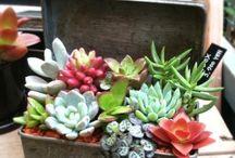 Succulents / by Susan Jones