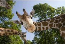Giraffes (for Lister) / Because she hearts them. / by Julia Dalton
