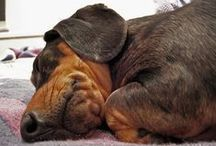 Love My Dachshund / My little dog - a heartbeat at my feet. ~Edith Wharton