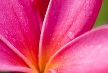 F - Jasmim manga ✿⊱╮ Pluméria / Jasmim manga, Pluméria ou  Frangipani, são também nomes desta árvore . Elas dão flores lindas com um perfume maravilhoso. Tenho um pé lindíssimo dela.