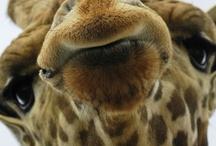 A - Girafas