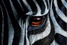 A - Zebras