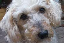 Cora / Cora É uma cachorrinha  que eu tive a sorte de encontrar. Dizer que gosto dela é pouco, pois eu a adoro.