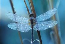 A - Cigarras ( Dragonfly )