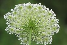 F - Queen Anne's Lace ✿⊱╮