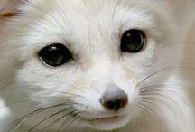 A - Raposas (Fennec Fox)