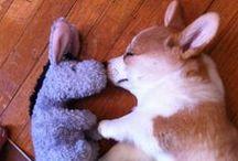 Corgis! / Welsh Corgis are the best little dogs