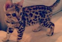 I Love Bengals / by Angie Gaffke