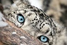 Animal Eyes / Wild eyes