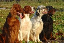 For the love of Setters / by Lisa H.