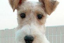 Terrier dawg
