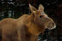 ANIMALS: Moose & Eurasian Elk / Who knew that the moose were loose in the Czech Republic! But they are in danger... Now if only we could get some of those handsome North Woods Law Wardens over there to help out the Czech moose, all would be well and good.