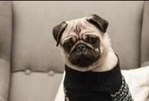 Pugs 8) / by Brittany Nelson
