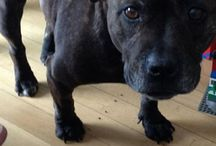 RIP KASEY / KASEY the sweetest girl ever! English Staffordshire Bull Terrier 2006-2013