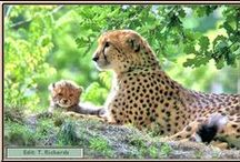 """Amazing Cheetah / They are amazing, intuitive, non-confrontational, and human-friendly without aggression in most cases ~ much to their own detriment. These good folks are working to spread awareness of the Cheetah and their plight """"Cheetah Conservation Fund"""" ~ https://www.facebook.com/CCFcheetah?fref=nf / by Terri Richards"""